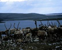 Caribous at the Fall Caribou Crossing National Historic Site of Canada, 2000.; Parks Canada Agency/ Agence Parcs Canada, 2000.