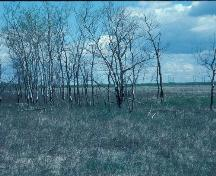 Contextual view in which poplar trees mark the location of part of the Flee Island Dakota Entrenchment, Portage la Prairie area, 2005; Historic Resources Branch, Manitoba Culture, Heritage, Tourism and Sport, 2005