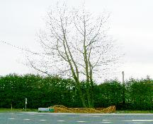 View of typical Royal Oak Tree, 2004; Donald Luxton and Associates, 2004