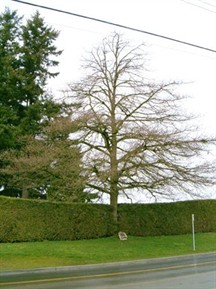 Royal Oak Tree, City of Surrey / Chêne royale, ville de Surrey